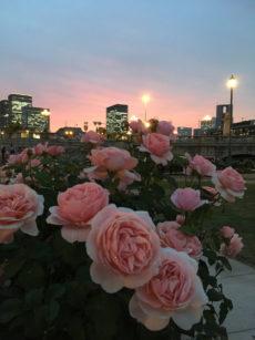 20170516_rose